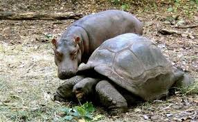 Owen, an orphaned baby hippopotamus, and Mzee, a 130-year-old tortoise, became unlikely friends in 2004. Courtesy Reuters.